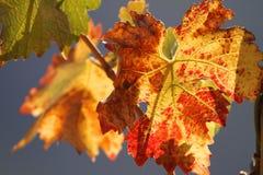 Outono no vinhedo Imagens de Stock Royalty Free