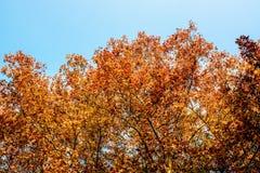 Folha do outono no walpaper das árvores Fotografia de Stock