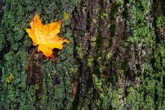 Folha do outono que encontra-se no musgo da casca de árvore Fotografia de Stock Royalty Free
