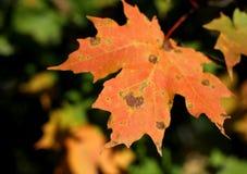 Folha do outono que vem em você Foto de Stock Royalty Free