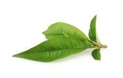 Folha do pêssego isolada no fundo branco Imagem de Stock