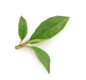 Folha do pêssego isolada no fundo branco Foto de Stock