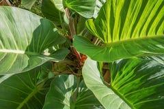 Folha do Philodendron imagens de stock