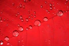 Folha do Poinsettia com gotas da água Fotografia de Stock