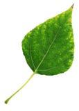 Folha do Poplar Fotografia de Stock