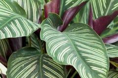 Folha do pothos dourado foto de stock