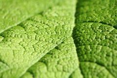 Folha do Rhubarb Imagens de Stock Royalty Free