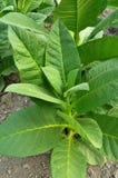 Folha do tabaco Imagens de Stock