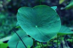 Folha do Taro na floresta Foto de Stock