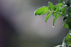 folha do tomatoe Fotos de Stock