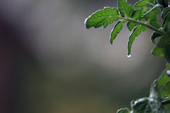 folha do tomatoe Fotografia de Stock