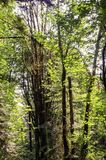 Folha do verão, Eagle Creek, desfiladeiro de Colômbia, Oregon fotografia de stock