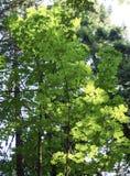 Folha do verão, Eagle Creek, desfiladeiro de Colômbia, Oregon fotos de stock