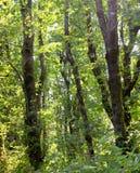 Folha do verão, Eagle Creek, desfiladeiro de Colômbia, Oregon foto de stock