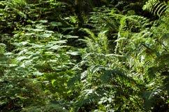 Folha do verão, Eagle Creek, desfiladeiro do Rio Columbia, Oregon fotografia de stock royalty free
