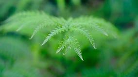 Folha do verde da folha das samambaias de Beautyful do close-up foto de stock