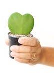 A folha do verde da posse da mão da mulher e o coração vermelho dão forma no potenciômetro de flor Foto de Stock