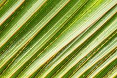 Folha do verde de Parm para o fundo Imagens de Stock