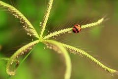 Folha do verde do joaninha em um dia ensolarado fotografia de stock