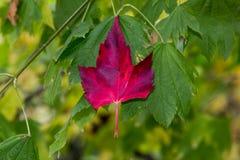 Folha do vermelho de Haning fotografia de stock