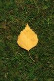 Folha do vidoeiro amarelo no fundo verde imagem de stock