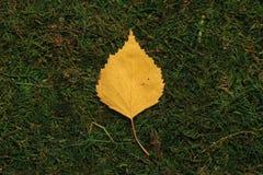 Folha do vidoeiro no fundo verde fotos de stock royalty free