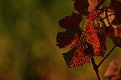 Folha do vinho em outubro fotografia de stock royalty free