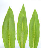 Folha dos vegetais Foto de Stock