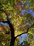 Folha dourada Fotografia de Stock Royalty Free