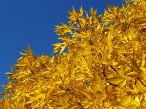 Folha dourada Foto de Stock