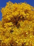 Folha dourada Fotografia de Stock