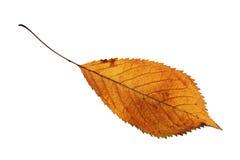 Folha dourada isolada da cereja foto de stock