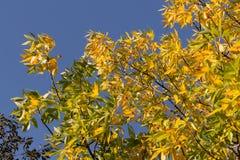 Folha dourada outonal da cinza no fundo do céu azul Fotografia de Stock