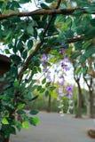Folha e flor das glicínias na mola imagens de stock royalty free