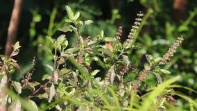 Folha e flor verdes da manjericão santamente video estoque