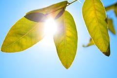 Folha e o sol Fotografia de Stock