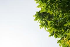 Folha e ramo da árvore Imagens de Stock Royalty Free