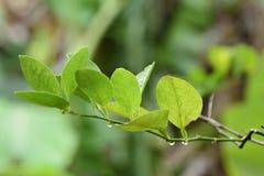 Folha e ramo do limão Fotografia de Stock