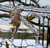 Folha e ramos do carvalho congelados no gelo Fotos de Stock Royalty Free