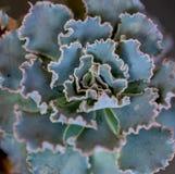 Folha encaracolado azul verde para plantar o bebê suculento fotos de stock