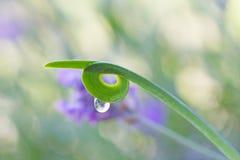 Folha encaracolado da planta verde com gotas da água Foto de Stock Royalty Free