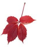 folha Escuro-vermelha da trepadeira da Virgínia do autum Imagens de Stock Royalty Free