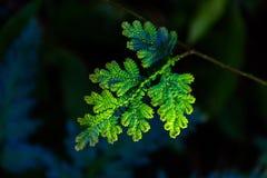 A folha esmeralda Fotos de Stock Royalty Free