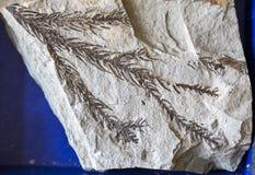 Folha fóssil na pedra Fotos de Stock