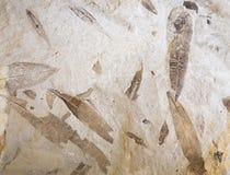 Folha fóssil na pedra Imagens de Stock Royalty Free