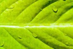 Folha fresca amarela Imagem de Stock Royalty Free