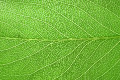 Folha fresca da árvore de pera Imagem de Stock Royalty Free