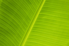 Folha fresca da banana Fotografia de Stock Royalty Free