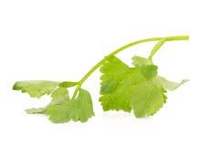 Folha fresca do aipo isolada no branco Fotografia de Stock