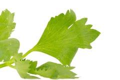 Folha fresca do aipo isolada no branco Fotos de Stock